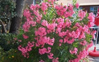Nerium_oleander